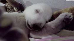 夢を見ているシロクマの赤ちゃん、目が離せないほどかわいい〜(動画)
