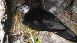 幻の希少海鳥の営巣地を小笠原で発見