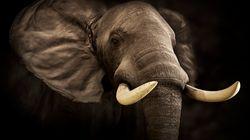 中国が象牙市場を閉鎖 アフリカゾウの密猟を止める最大の転機