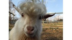 ダンディーすぎるヤギが山口にいた 実は自分でヘアセットした?