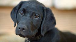 平昌オリンピック、テロ対策犬が脱走⇒捕獲 真面目なレトリバーは「爆発物探知任務」担当だが…