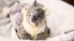 コアラの赤ちゃんが愛くるしすぎる【動画】