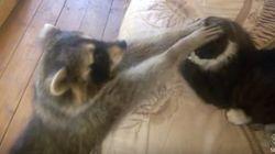 アライグマ、猫と仲良くなりたいよ。なりたいよー(動画)