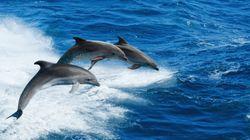 海でレジャーを楽しんでいた男性、イルカのボディスラムで海に沈む(動画)