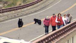 子グマに近づきすぎた観光客、母グマに追いかけられる(動画)