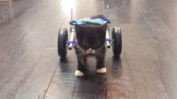 後脚を失った子猫、車椅子で一歩を踏み出す(動画)