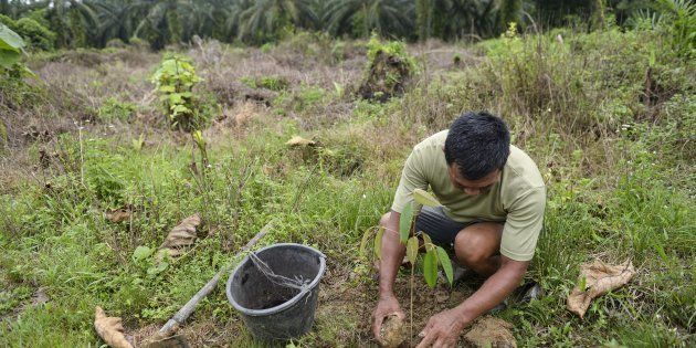 This photo taken on August 6, 2017 shows a worker from the Leuser Conservation Forum or Forum Konservasi...