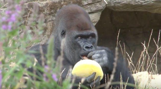 動物園のゴリラたち、アイスで暑さを乗り越える。暑いのは人間だけじゃないよ...