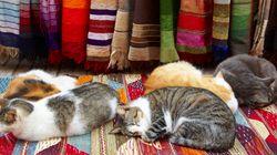 モロッコの猫たち、異国情緒あふれる街でのーんびり昼寝(画像集)