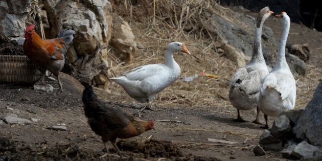 Chickens and geese outside a village house after poultry markets closed due to the risk of spreading...