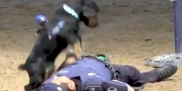 心臓マッサージの訓練をする警察犬ポンチョ