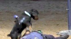 心臓マッサージの訓練をする警察犬ポンチョの動画が話題に。健気な姿が「とってもかわいい」