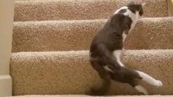 下半身まひの猫、一生懸命に階段に登る。思わず応援しちゃう(動画)