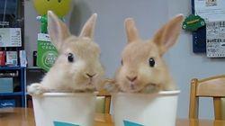 ウサギが2匹、紙コップに入ってモフモフおしゃべり(動画)