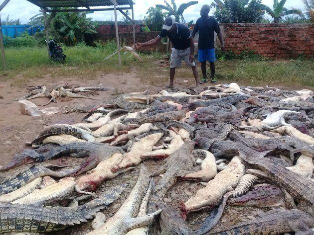 斧で武装した村人たち、ワニ300匹を虐殺。目撃者は語る「身の毛がよだつ光景だった」