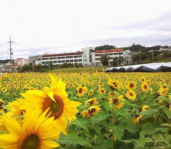 冬の沖縄、早くも「桜」と「ひまわり」が開花