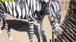「シマウマ」の正体は、ペイントしたロバ?エジプトの動物園で騒動広がる