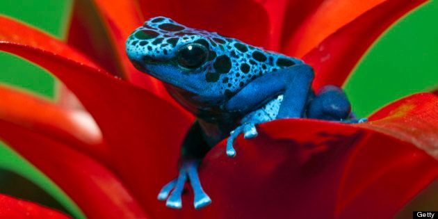 Dendrobates azureus is a type of poison dart frog found in the forests surrounded by the Sipaliwini savannah,...