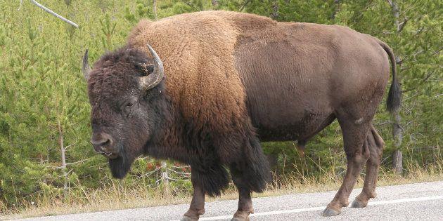 イエローストーン国立公園で撮影されたバイソン