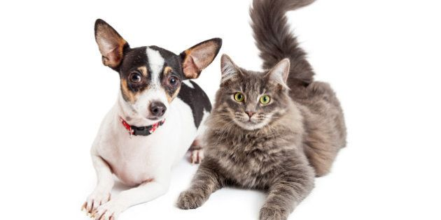 An adorable Chihuahua dog and a pretty gray color tabby cat laying