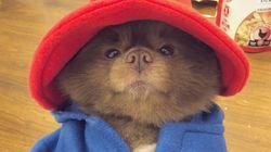 「くまのパディントン」そっくり。保護施設に捨てられた犬は生まれ変わった