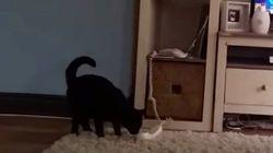 猫、電話に出るわ(動画)