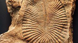 「ディッキンソニア」の正体は、最古の動物だった。6億年前の座布団のような化石