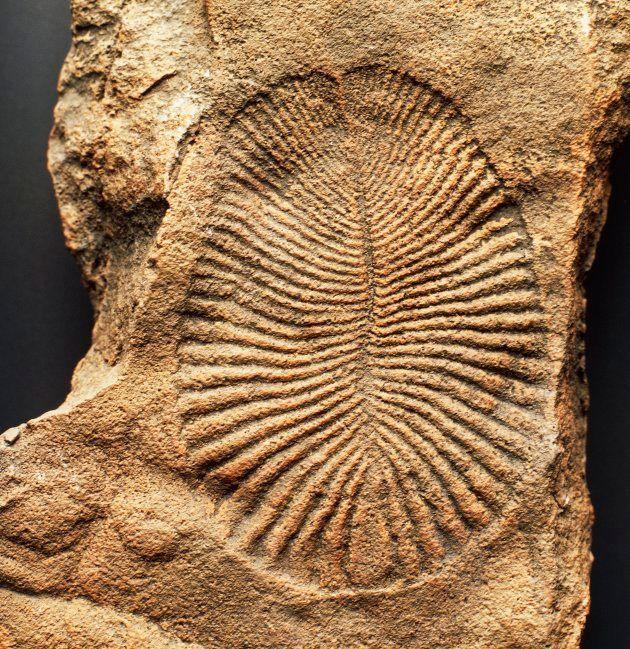 ディッキンソニアの化石