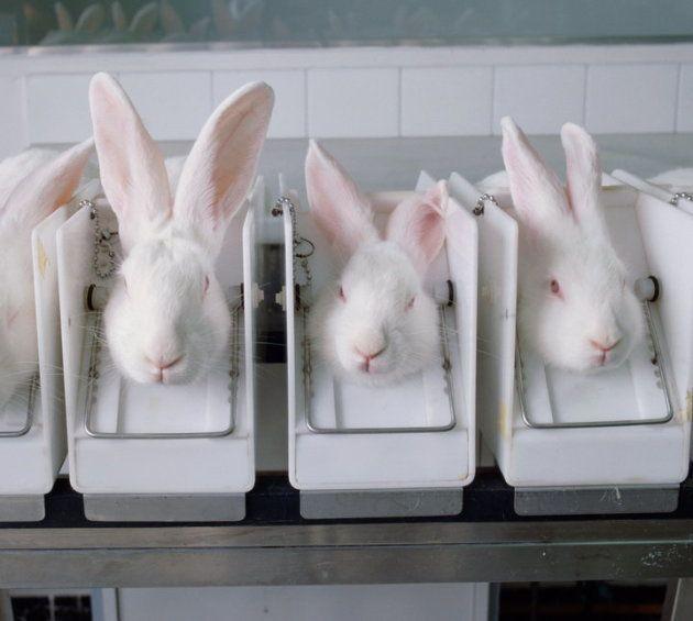 実験のために拘束されるウサギのストック写真