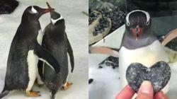 ゲイのペンギンカップル、仲良く子育て中。飼育員「2匹は素晴らしいチーム」