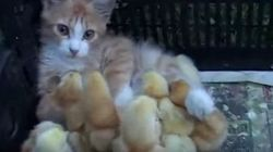 ヒヨコたちに愛されてしまった子猫。(動画)