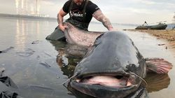 巨大ナマズを釣り上げたぞ。なんと重さ100キロ以上。ポーランドの男性「国内新記録では?」