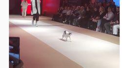 これが本当の「キャットウォーク」。ファッションショーに猫が乱入、決めポーズで視線かっさらう(動画)