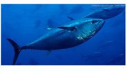 ICCAT完全な失敗 違法な大西洋クロマグロ漁業は改善されず