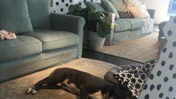 IKEAの店内で、野良犬たちがお昼寝 「動物に優しい」方針に称賛の声