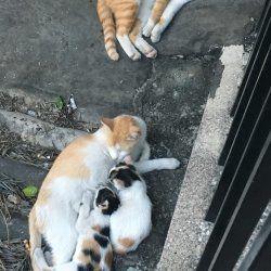 子育て中のネコの家族が道端でのんびり寝ている、のどかな光景。父親(写真上)の背中でも一匹寝ています。(2018年10月)