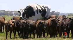 巨大な牛がオーストラリアに出現。大きくなりすぎて命が助かる