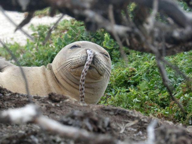 鼻にウミヘビが刺さったハワイモンクアザラシ