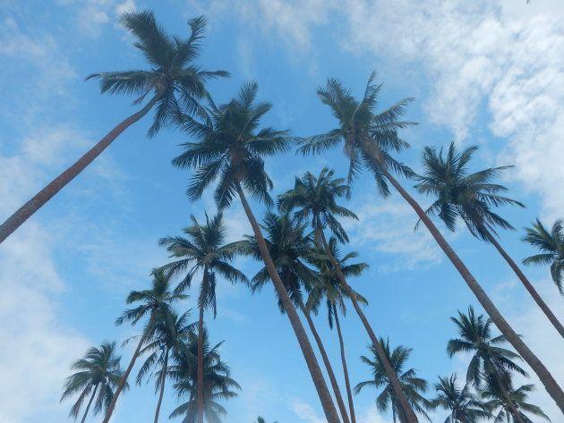 日本の田畑を原風景として想像するのと同様に、ココナツプランテーションはバヌアツの原風景の一つです