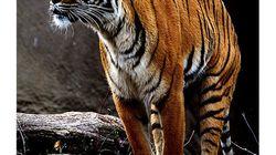 【動画あり】タイ最大の国立公園でトラの調査を開始