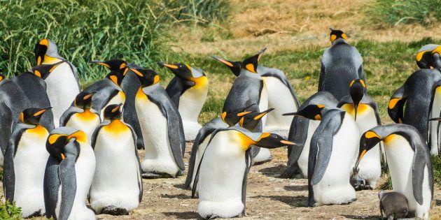 フエゴ島のキングペンギンのイメージ写真
