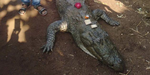 およそ130歳とみられるワニのガンガラム。1月8日に死んでいるのが発見された=インド・チャッティースガル州