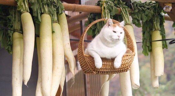 カゴに乗って吊られる猫、大根といっしょに風に揺れる