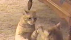 猫ちゃんが「アルプス一万尺」するとこうなるよ(動画)
