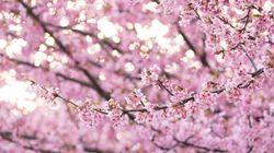 春よ来い。河津桜が告げる、新しい季節の訪れ(画像集)