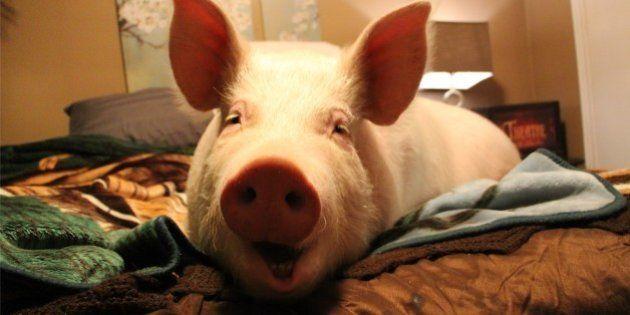 生きるチャンスをつかんだ豚、ペットとして一家の人気者になる(画像集)