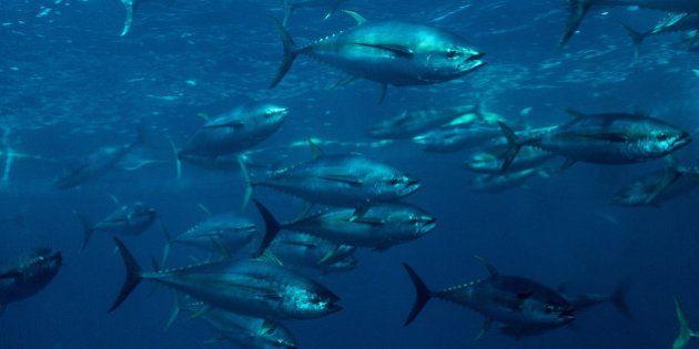 カツオ・マグロの入漁料、また大幅値上げ ツナ缶も価格上がる?
