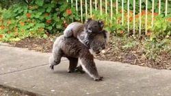 コアラが背中に赤ちゃんを乗せて朝の散歩。オーストラリア人も大喜び(動画)