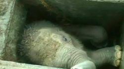 ゾウの赤ちゃん危機一髪、排水溝から救出される(動画)