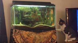 猫が、水槽の魚めがけて思わずジャンプ。えぇ?(動画)